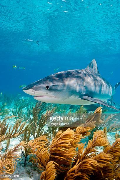 tiger shark on the prowl - tiger shark stock pictures, royalty-free photos & images
