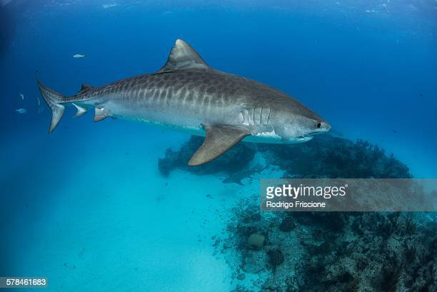 tiger shark (galeocerdo cuvier) patroling reef in the north bahamas, caribbean - tiger shark stock pictures, royalty-free photos & images