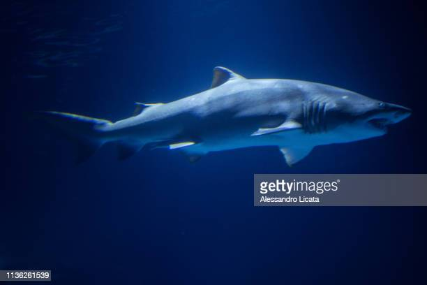 tiger shark - leopard shark stock pictures, royalty-free photos & images