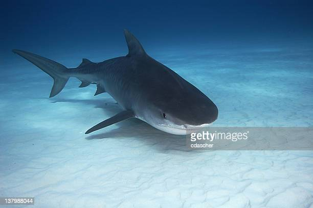 tiger shark - cdascher stock pictures, royalty-free photos & images