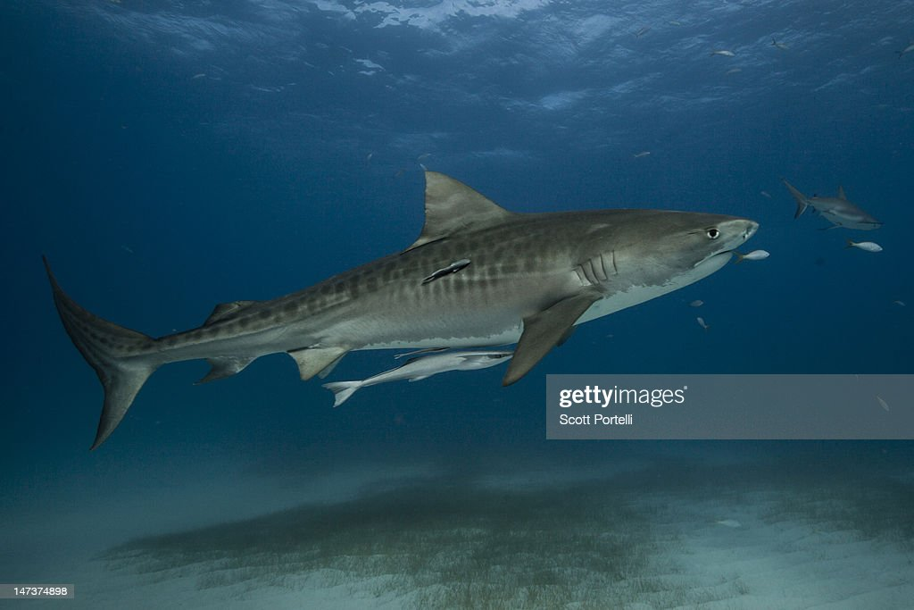 Tiger shark : Stock Photo