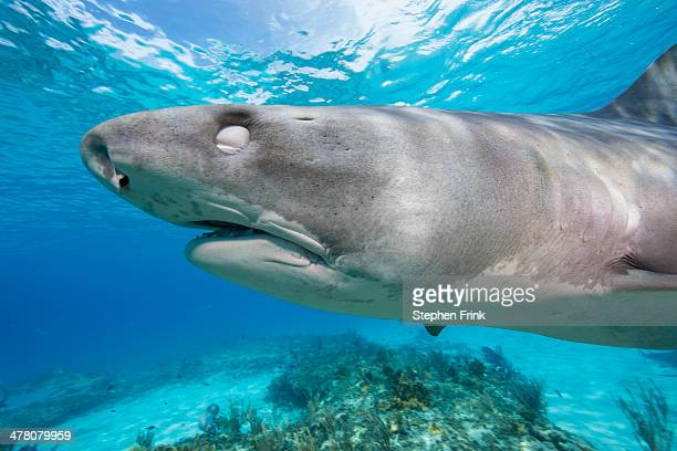 tiger shark (galeocerdo cuvier) - grand bahama stock photos and pictures