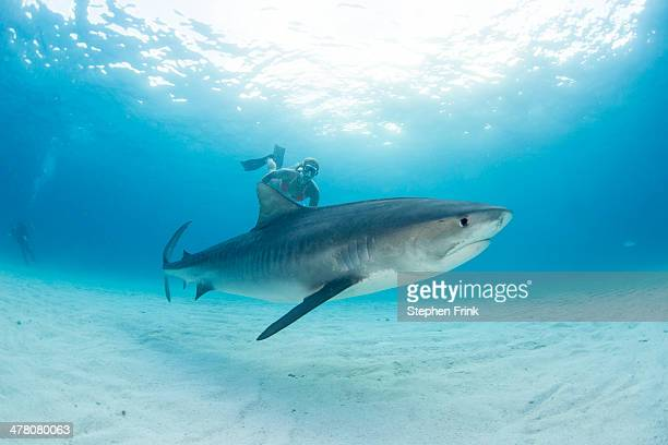 tiger shark (galeocerdo cuvier) - tiger shark stock pictures, royalty-free photos & images