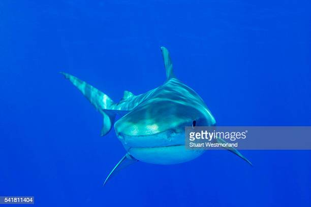 tiger shark - tiger shark stock pictures, royalty-free photos & images