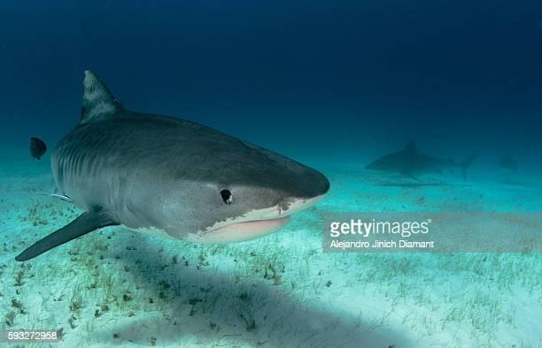 tiger shark - requin tigre photos et images de collection