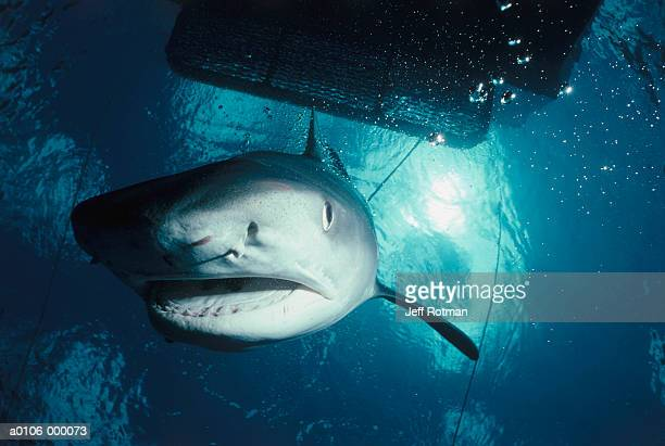 tiger shark - tiger shark stock photos and pictures