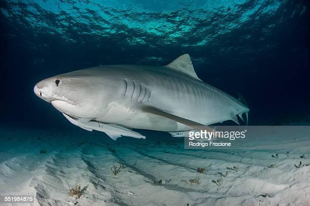 tiger shark (galeocerdo cuvier) swimming in the shallow sand banks, north of the bahamas - tiger shark - fotografias e filmes do acervo