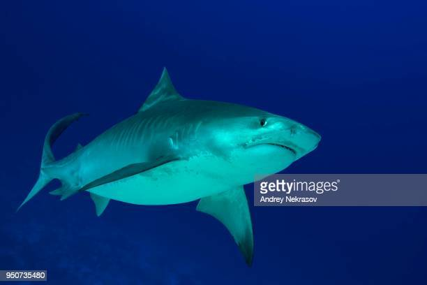 tiger shark (galeocerdo cuvier) swims in the blue water, fuvahmulah island, indian ocean, maldives - tiger shark stock photos and pictures