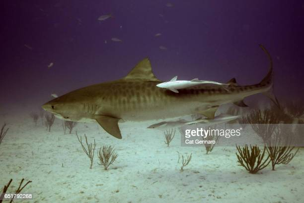 tiger shark with remora-a symbiotic relationship - megalodon stock photos and pictures