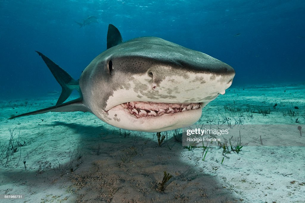Tiger sharks (Galeocerdo cuvier) are common visitors of the reefs north of the Bahamas in the Caribbean : Stock Photo