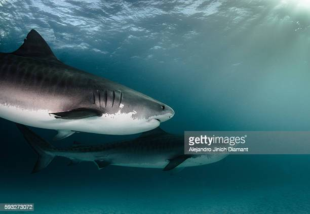tiger sharks - tiger shark stock photos and pictures