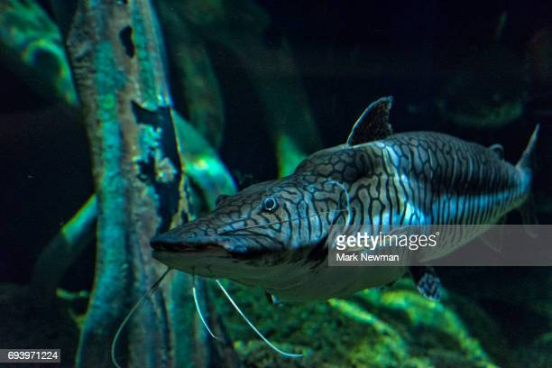 tiger shovelnose catfish - catfish stock pictures, royalty-free photos & images