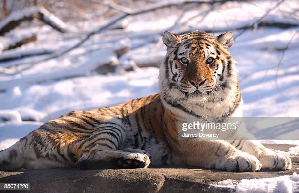 A tiger sits in the sun at the Bronx Zoo on February 4 2009 in New York City