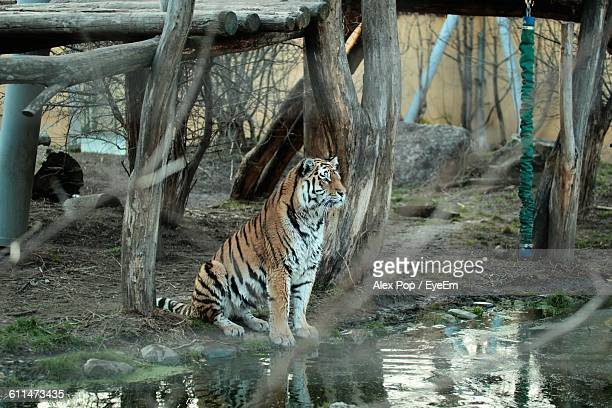Tiger Sitting On Field By Pond Against Wooden Structure
