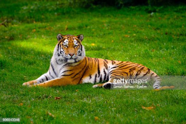 Tiger Sitting On Grassy Field By Tree