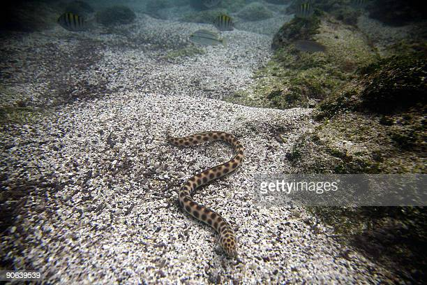 A Tiger snake eel swims underwater in San Cristobal island Galapagos Archipelago on September 1 2009 AFP PHOTO/Pablo Cozzaglio