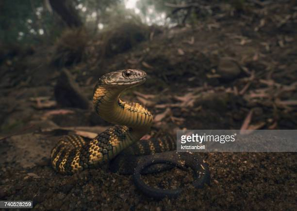 tiger snake (notechis scutatus) on river bank, melbourne, victoria, australia - serpente tigre foto e immagini stock