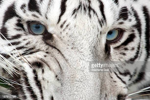 tiger snarl - white tiger stock photos and pictures