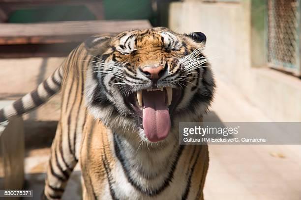 Tiger snarling, Chiang Mai, Thailand