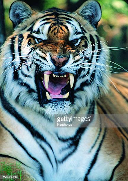 tiger snarling, close-up (panthera tigris) - fang stock pictures, royalty-free photos & images
