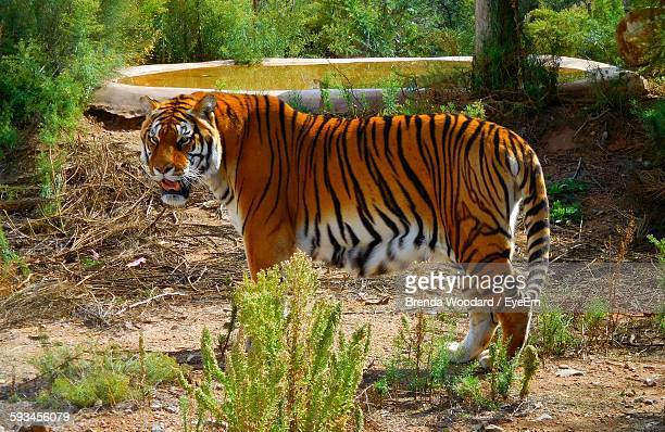 Tiger Standing In Zoo