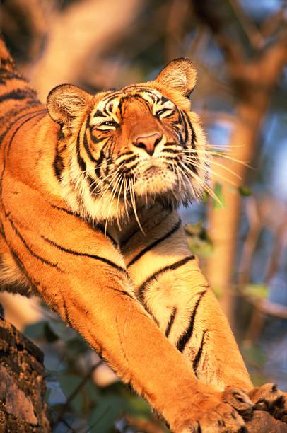 Tiger (Panthera tigris tigris)stretching