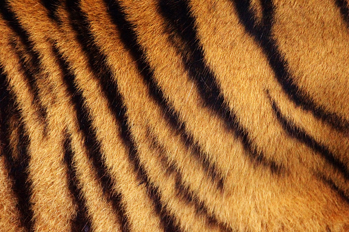 Tiger stripe background 483332834