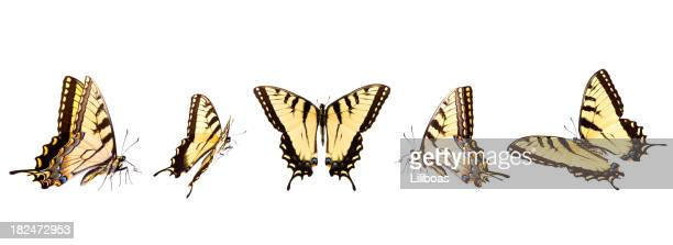 Tiger Swallowtail butterflies in numerous flying positions isolated on white