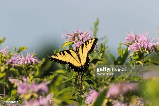 tiger swallowtail butterfly on wildflowers - swallowtail butterfly stock pictures, royalty-free photos & images