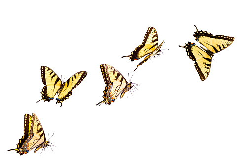 Tiger Swallowtail Butterfly 155140158