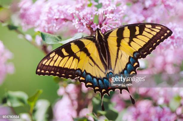 tiger swallowtail butterfly - swallowtail butterfly stock pictures, royalty-free photos & images