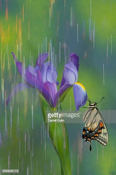 Tiger swallowtail butterfly rain on iris