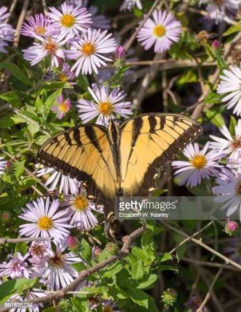 Tiger Swallowtail Butterly