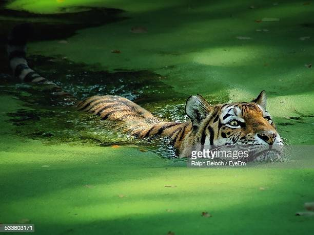 Tiger Swimming In Duckweed Covered Lake