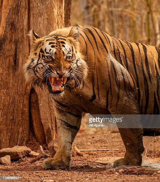 tiger tadoba - bengal tiger stock pictures, royalty-free photos & images