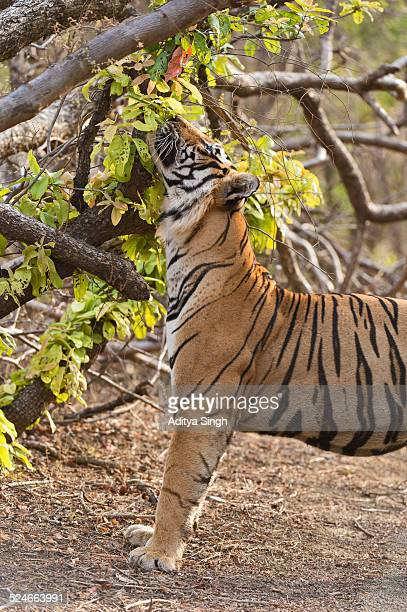 tiger taking in the scent - マーキング ストックフォトと画像