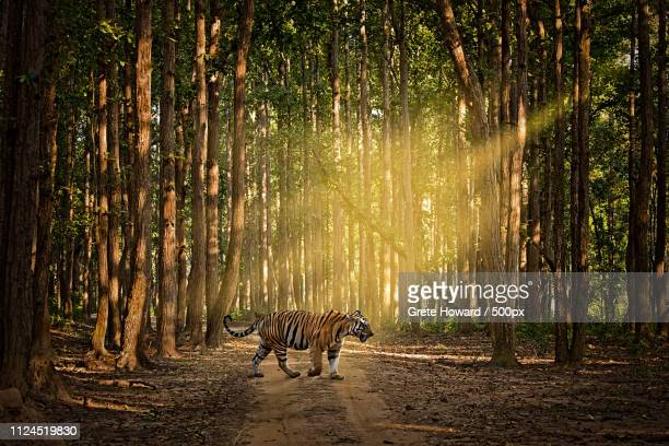 tiger tiger burning bright - madhya pradesh stock pictures, royalty-free photos & images