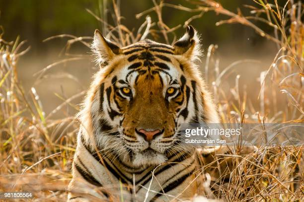 tiger tiger burning bright... - siberian tiger stock pictures, royalty-free photos & images