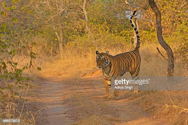 tiger track - territory stock pictures, royalty-free photos & images