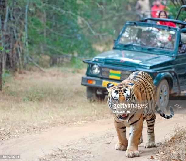 tiger trail, bandhavgarh, madhya pradesh, india - bandhavgarh national park stock pictures, royalty-free photos & images