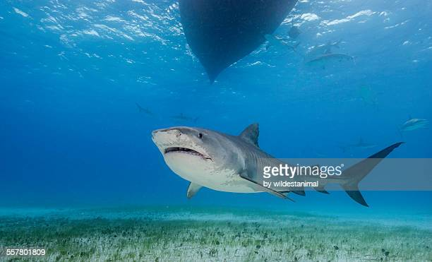 tiger under the boat - tiger shark stock photos and pictures