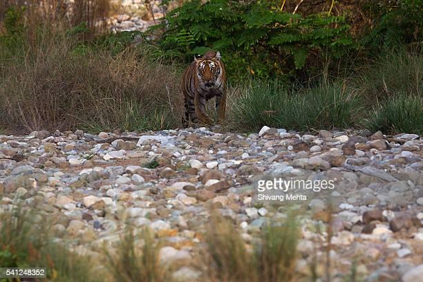 Tiger walking in Corbett