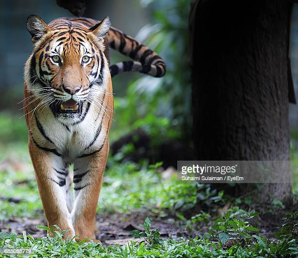 tiger walking in forest - animal whisker stock pictures, royalty-free photos & images