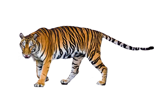 tiger White background Isolate full body 912632436