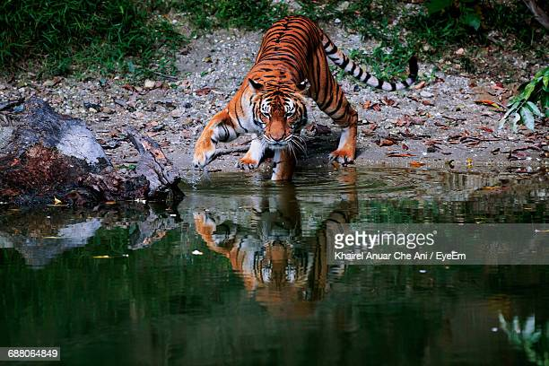 Tiger With Reflection In River