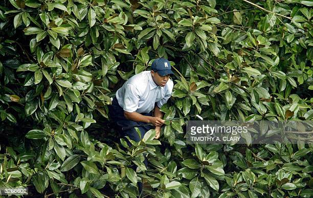 Tiger Woods of the US comes out of the bushes on the 5th hole during 1st round action of The Masters golf tournament at Augusta National golf club 08...