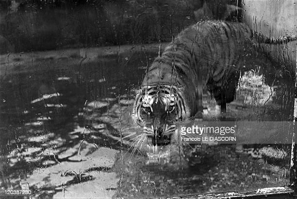 Tiger zoo in Dublin Ireland Tiger behind the glass Photo belonging to a series called 'Magic Animals'