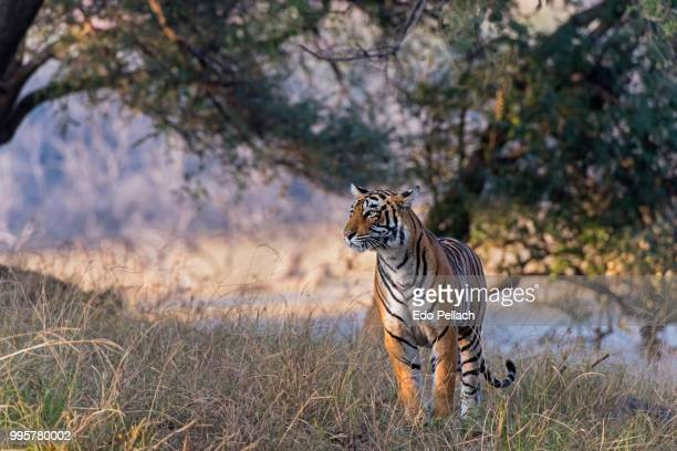 tiger.jpg - tiger cub stock photos and pictures