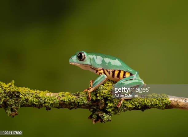 tiger-legged monkey frog - zoology stock pictures, royalty-free photos & images