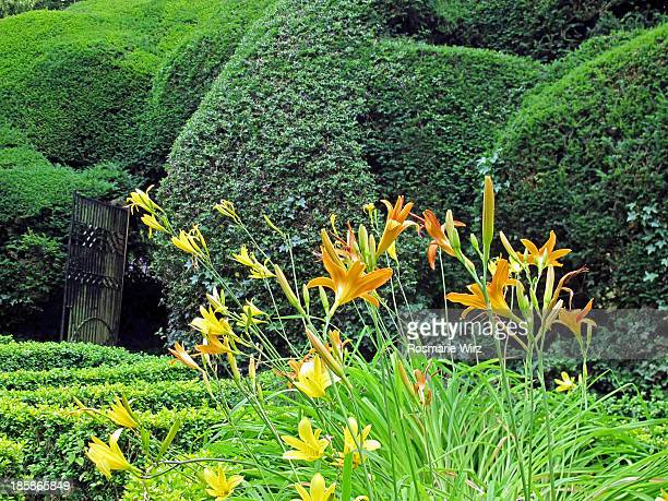 Tiger-lilies and dark yew hedges